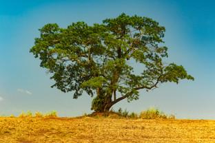 Árvore Brasil