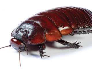 Why You Can't Get Rid of Cockroaches