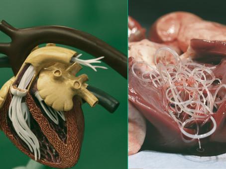 """Dirofilariose ou """"A doença do verme do coração"""""""