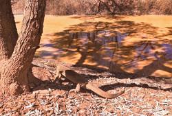 Goanna at waterhole (2)