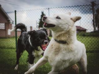 L'agression entre chiens - pourquoi et comment éviter les conflits?