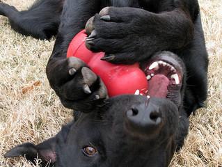 La stimulation mentale chez le chien