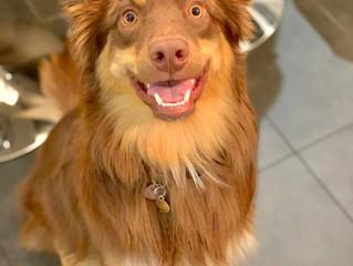 """Entraîner la commande """"fixe"""" pour mieux obtenir l'attention de son chien lors des prom"""