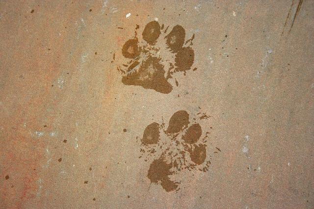 Sudation des coussins : signe de stress chien