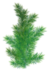 Pine_Branch_PNG_Picture.png