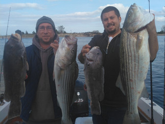 Hot Striper action today 6 Stripers 29-38inches,10 Blues 6 Keeper Blackfish to 6lbs,5 keeper SeaBass