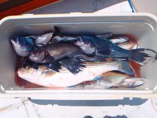 Tons of action Keeper Bass,8K Seabass,Big Porgies,Blues