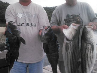 Plenty of Striper action 2 Keepers 9 Shorts,5 Keeper SeaBass to 21inches today
