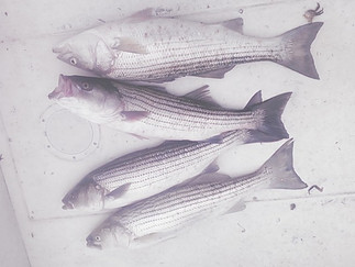 A Limit of Stripers today ,Blackfishing  was slow