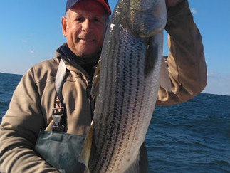 Stripers on the chew today 6 Keepers  to 36in