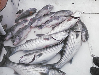 Great Day today 12 Keeper Stripers to 35in,9 Keeper Blacks out of 50 Caught