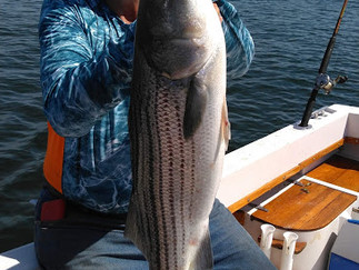 Steady pick of fish today Stripers,SeaBass and Porgies