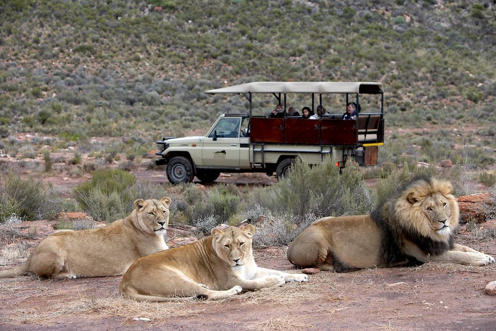 Drei Löwen liegen vor dem Safari Jeep
