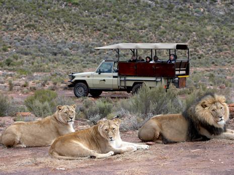 Eine Safari in der Nähe von Kapstadt - ist das möglich?