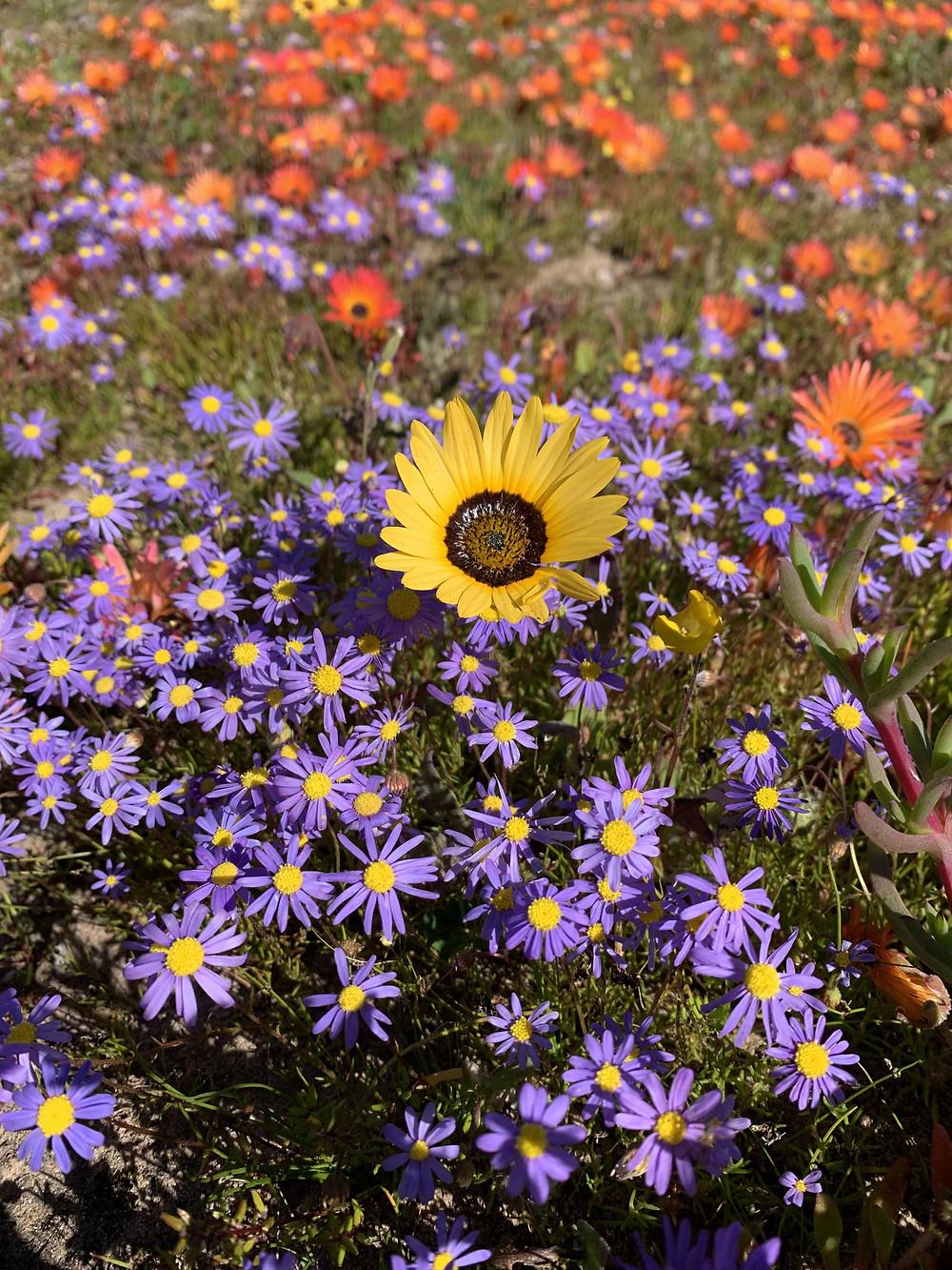 Wildblumen in Südafrika, Jacobs Bay an der Westküste des Landes. Jeden Frühling blühen dort bunte Blumen und ziehen die Besucher aus Kapstadt magisch an.