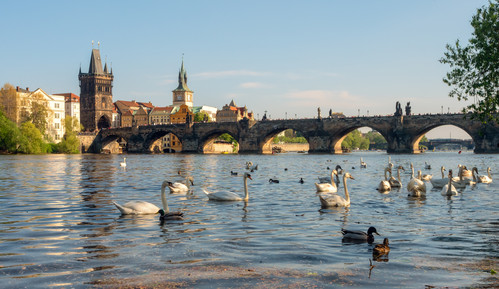 The Swans on the Vltava