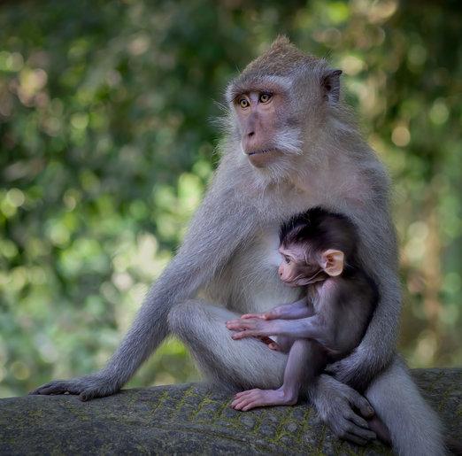 Sacred Monkeys in Bali