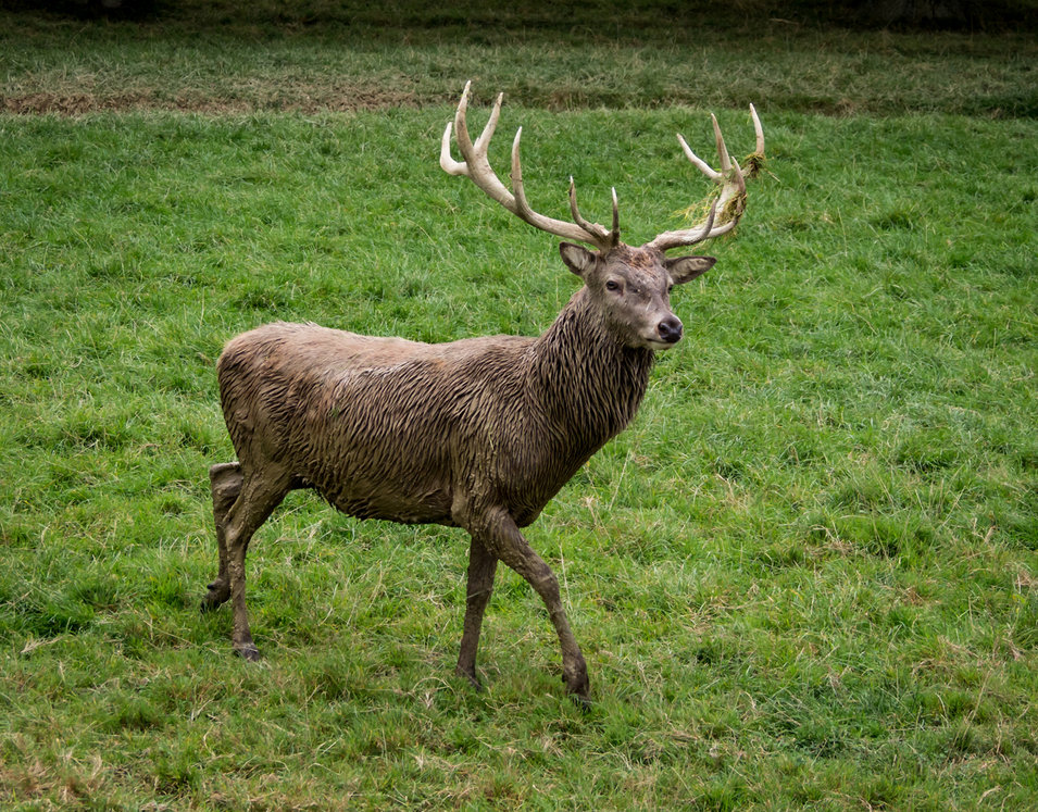 Master Stag