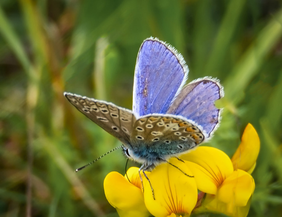 Native British Butterfly