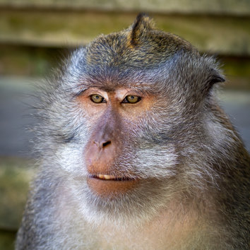 Sacred Long Tailed Macaque