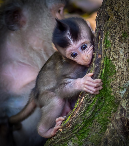 Sacred Long Tailed Baby Macaque