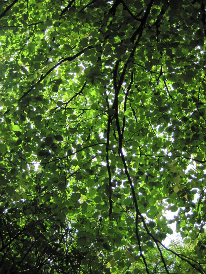 Lovely Whispering Beech Leaves