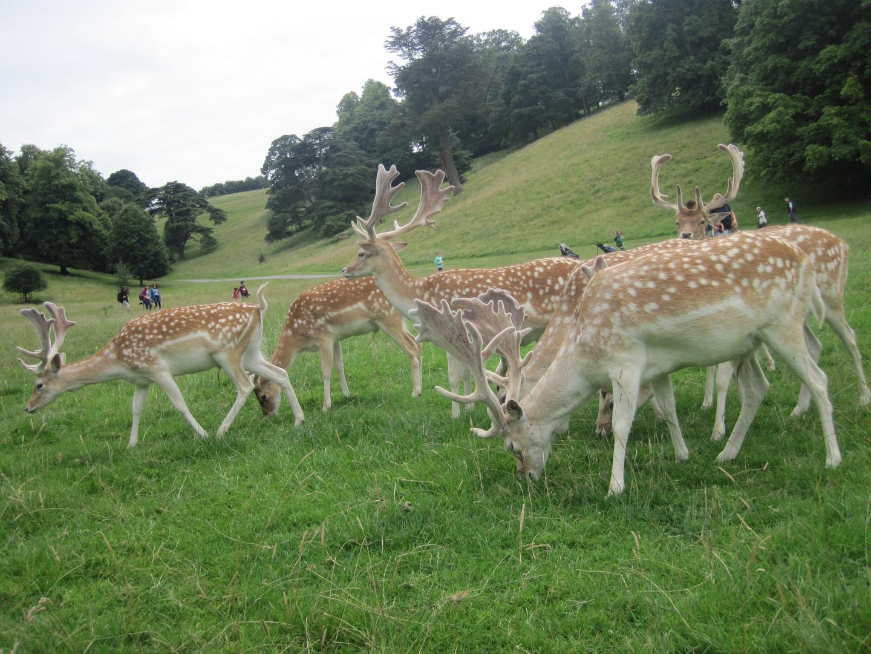 Deer at Dyrham Park