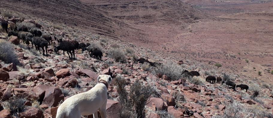 Anatolian livestock guarding dog.