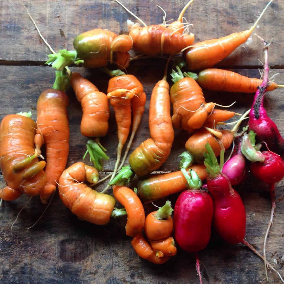 Cenouras e rabanetes orgânicos colhidos por Marcela