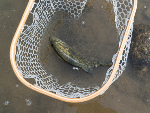 Fly Fishing and Catching Smallmouth Bass in the Fall