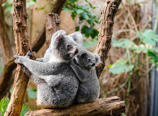 The Struggle to Keep our Iconic Koalas Alive