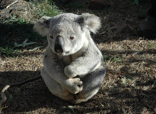 Koalas – At The Mercy Of Right Wing Governments