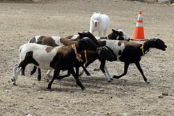 Herding-TB3