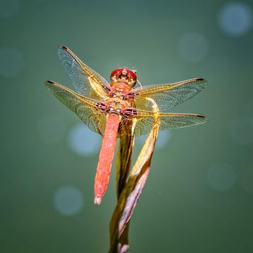 'Dragon Fly' by Willian Allen ( 10 marks )