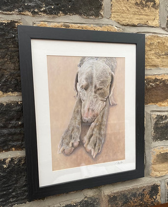 Framed print of Weimaraner