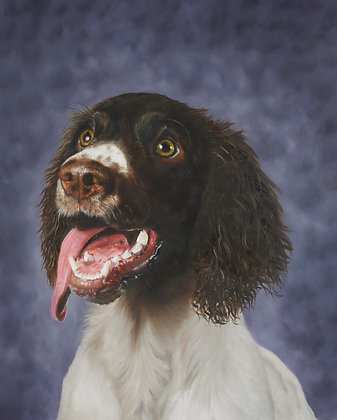 Bobby the Springer Spaniel