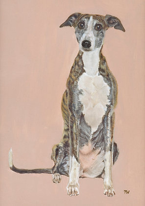 Whippet sitting