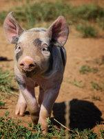 GP Porcs Bio