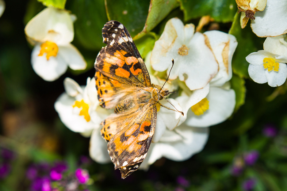 Gorgeous butterfly on beautiful blooms.