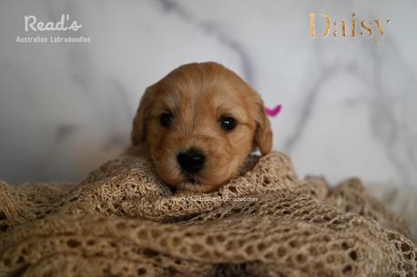 Daisy Fuchsia -3-2.png