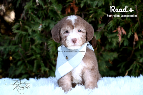 Rocky Road baby blue 7 weeks.png
