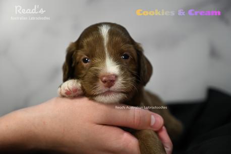 Cookie & Cream 3 weeks.png