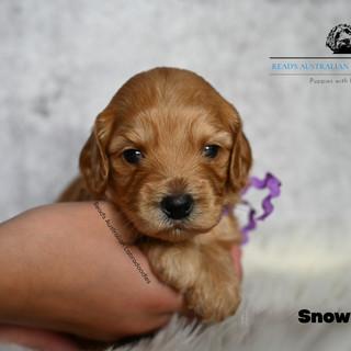 Snowball 3 weeks-2.jpg