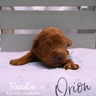 Baby blue_Orion 1 week.png