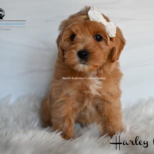 Harley Quinn 7 weeks.jpg