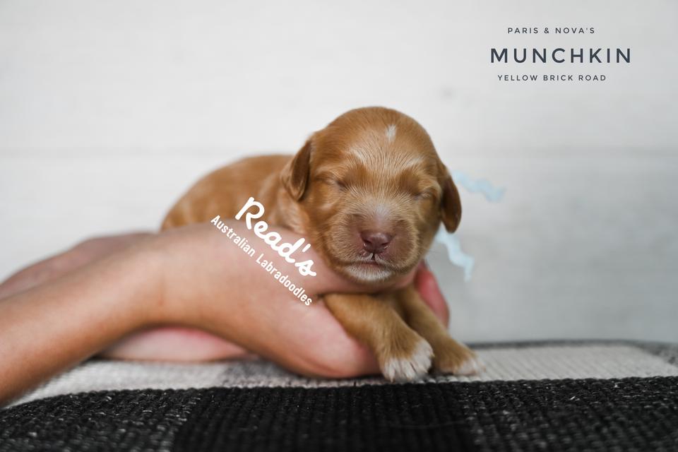 MUNCHKIN 1 WEEK .png