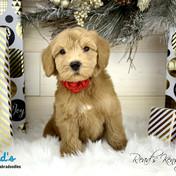 Ginger - Kensington - 7 weeks.jpg