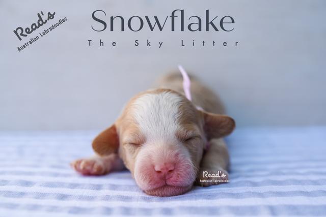 Baby Pink - Snowflake one week.png