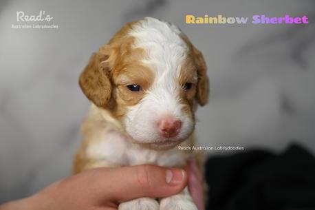 Rainbow Sherbet 3 weeks.png