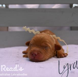 Ivory_Lyra 1 week.png